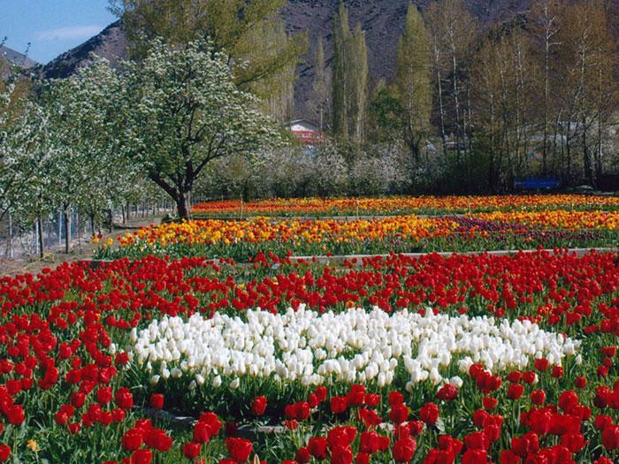 Gachsar-Tulip