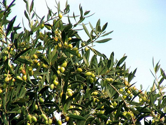 Tarom-Olive-