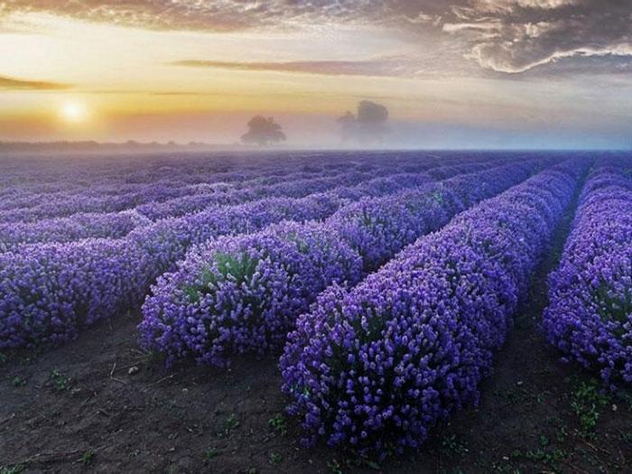 France-Lavender-Flower-Fields1
