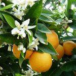 بهار نارنجی