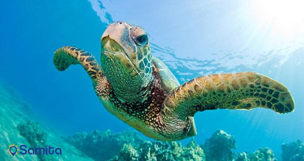 لاکپشت دریایی جزیره ماوی
